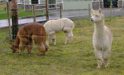 Alpacas found 'up the road a ways'